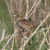 Henslow's Sparrow by Dominic Sherony
