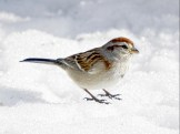 American Tree Sparrow - Pittsford, NY © Richard Ashworth