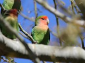 Rosy-faced Lovebird - Arizona © Dominic Sherony