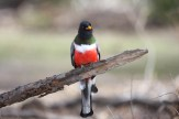 Elegant Trogon - Arizona © Dominic Sherony