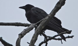 American Crow - Pittsford - © Dick Horsey - July 04, 2015