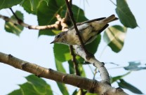 Warbling Vireo - Irondequoit Bay Outlet - © Dick Horsey - July 05, 2015