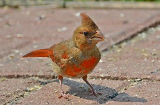 Northern Cardinal (Juv) - Webster - © Peggy Mabb - July 06, 2015