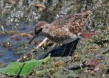 Least Sandpiper - Irondequoit Bay Outlet - © Dick Horsey - July 16, 2015