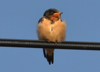 Barn Swallow (Juv) - Irondequoit Bay Outlet - © Peggy Mabb - July 16, 2015