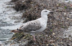 Great Black-backed Gull (1st year) - Irondequoit Bay Outlet - © Dick Horsey - July 17, 2015