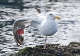 Herring Gull - Irondequoit Bay Outlet - © Dick Horsey - July 18, 2015
