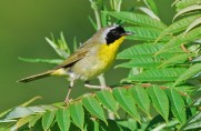 Common Yellowthroat - High Acres Nature Area - © Dick Horsey - July 23, 2015