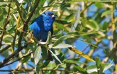 Indigo Bunting - High Acres Nature Area - © Dick Horsey - July 23, 2015