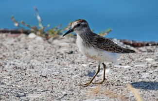 Least Sandpiper - Summerville Pier - © Dick Horsey - Aug 02, 2015