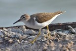 Spotted Sandpiper - Summerville Pier - © Peggy Mabb - Aug 08, 2015