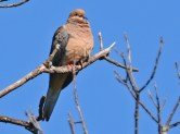 Mourning Dove - Durand Eastman Park (RBA Field Trip) - © Dick Horsey - Aug 23, 2015