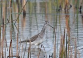 Greater Yellowlegs - Montezuma NWR - © Dick Horsey - Aug 31, 2015