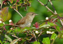 House Wren - Oatka Creek Park - © Jim Adams - Sep 11, 2015