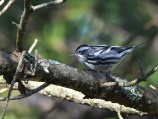 Black-and-white Warbler - Durand Park - © Dick Horsey - Sep 14, 2015
