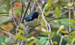 Black-throated Blue Warbler - Lakeview Church Trail - © Dick Horsey - Sep 25, 2015