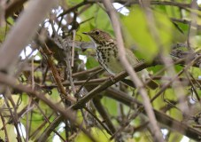 Swainsons Thrush - Lakeview Church Trail - © Dick Horsey - Sep 25, 2015