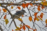 Blue Jay - Hamlin Beach Park - © Dick Horsey - Oct 05, 2015