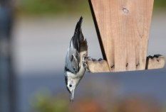 White-breasted Nuthatch - Webster - © Peggy Mabb - Oct 05, 2015