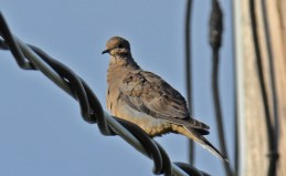 Mourning Dove - Irondequoit Bay Outlet - © Dick Horsey - Oct 10, 2015