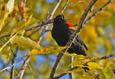 Red-winged Blackbird - Irondequoit Bay Outlet - © Dick Horsey - Oct 10, 2015