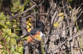 Eastern Towhee - Whiting Road Preserve - © Dick Horsey - Oct 10, 2015
