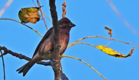 Purple Finch - Whiting Road Preserve - © Dick Horsey - Oct 10, 2015