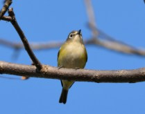 Blue-headed Vireo - Whiting Road Preserve - © Dick Horsey - Oct 10, 2015