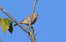 House Finch - Whiting Road Preserve - © Dick Horsey - Oct 10, 2015