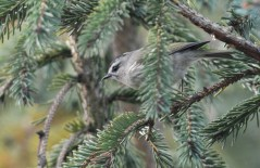 Golden-crowned Kinglet - Tinker Nature Park - © Dick Horsey - Oct 11, 2015