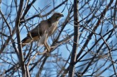 Red-tailed Hawk - Pittsford RR Loop Trail - © Dick Horsey - Oct 12, 2015