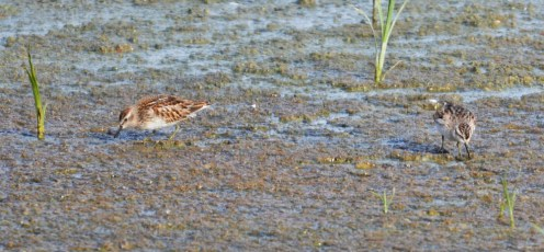 Least Sandpiper - Batavia WTP - © Dick Horsey - Oct 17, 2015