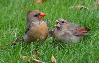 Northern Cardinal - Webster - © Peggy Mabb - Oct 18, 2015