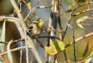 American Goldfinch - High Acres Nature Area - © Dick Horsey - Oct 23, 2015