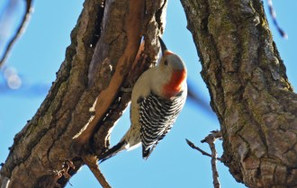 Red-bellied Woodpecker (F) - Corbett's Glen Nature Park - © Dick Horsey - Oct 26, 2015