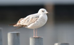 Ring-billed Gull - Summerville Pier - © Dick Horsey - Oct 27, 2015