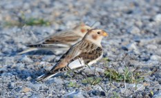 Snow Bunting - Batavia WTP - © Dick Horsey - Oct 30, 2015