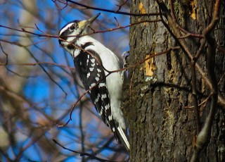 Hairy Woodpecker - Oatka Creek Park - © Jim Adams - Nov 02, 2015