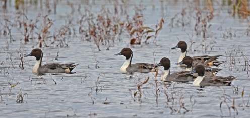 Northern Pintail - Montezuma NWR - © Dick Horsey - Nov 05, 2015