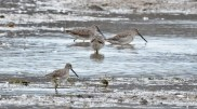 Long-billed Dowitcher - Montezuma NWR - © Dick Horsey - Nov 05, 2015