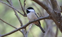 Black-capped Chickadee - Northampton Park - © Dick Horsey - Nov 17, 2015