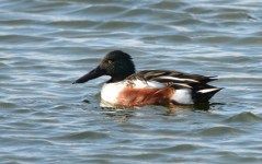 Northern Shoveler - Batavia WTP - © Dick Horsey - Nov 17, 2015