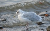 Herring Gull - Irondequoit Bay Outlet - © Dick Horsey - Nov 26, 2015