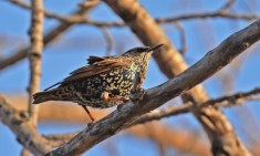 European Starling - Irondequoit Bay Outlet - © Dick Horsey - Nov 26, 2015