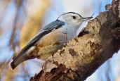 White-breasted Nuthatch - Oatka Creek Park - © Jim Adams - Nov 23, 2015