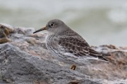 Purple Sandpiper - Sodus Bay - © Joe Wing - Nov 28, 2015