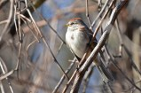 American Tree Sparrow - Webster Park - © Dick Horsey - Nov 30, 2015