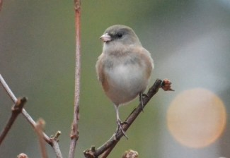 Dark-eyed Junco - Webster - © Peggy Mabb - Dec 02, 2015