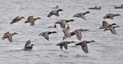 Mallard and Black Duck (bottom right) - Conesus Lake (RBA Field Trip) - © Dick Horsey - Dec 05, 2015