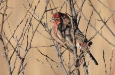 House Finch - High Acres Nature Area - © Dick Horsey - Dec 09, 2015